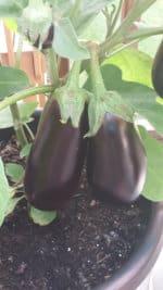 G3 Eggplant 2